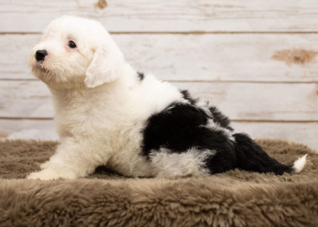 Lana came from Shandy and River's litter of F1 Sheepadoodles