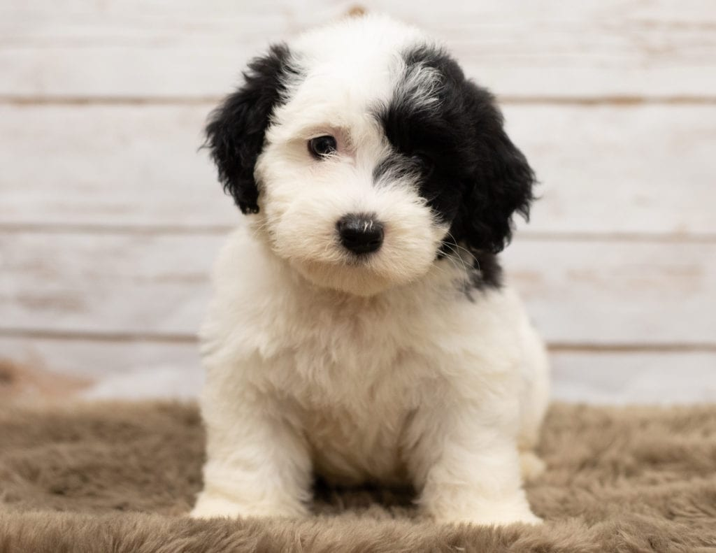 Lara is an F1 Sheepadoodle that should have thick, wavy, black and white coat and is currently living in Texas