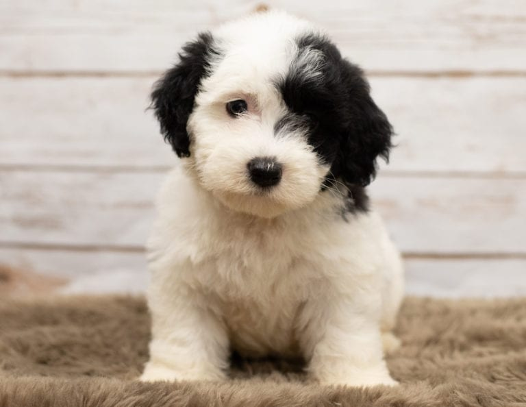 Sheepadoodle Puppies For Sale Standard And Mini Poodles