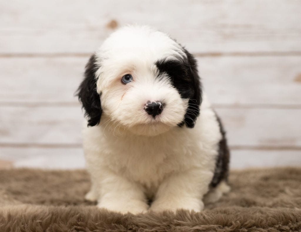 A picture of a Lee, one of our Mini Sheepadoodles puppies that went to their home in Tennessee