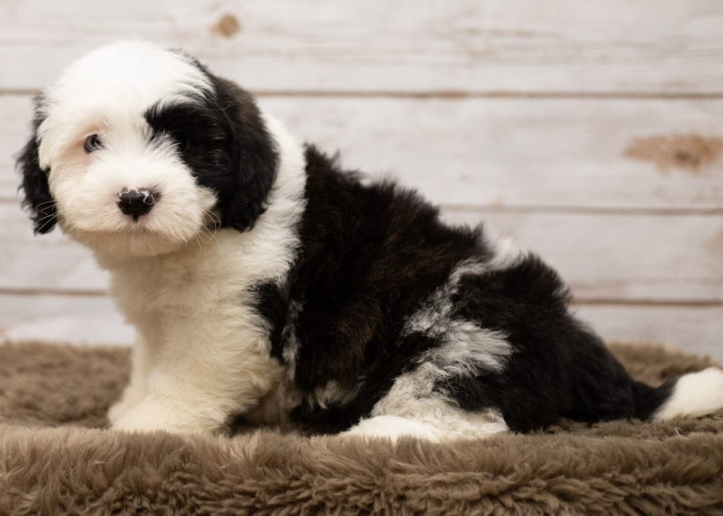 Lee is an F1 Sheepadoodle that should have thick, wavy, black and white coat and is currently living in Tennessee
