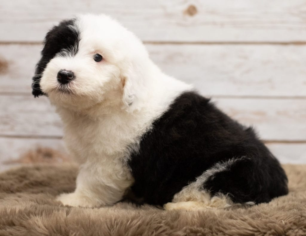 Leo is an F1 Sheepadoodle that should have thick, wavy, black and white coat and is currently living in Nebraska