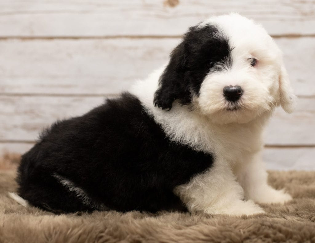 A picture of a Leo, one of our Mini Sheepadoodles puppies that went to their home in Nebraska