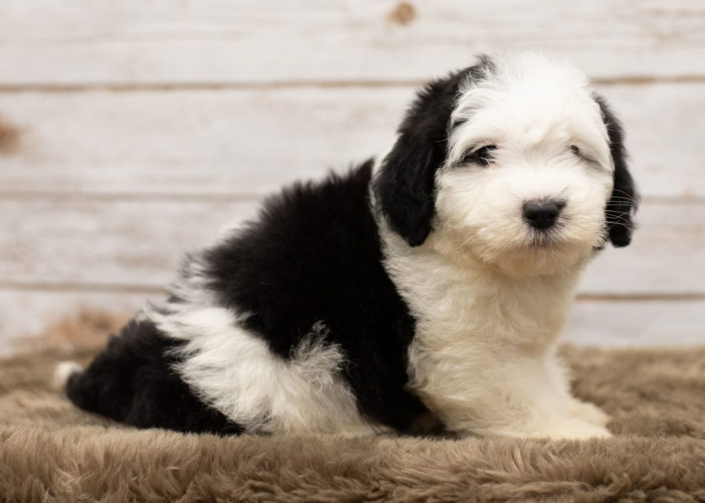 A picture of a Leti, one of our Mini Sheepadoodles puppies that went to their home in North Dakota