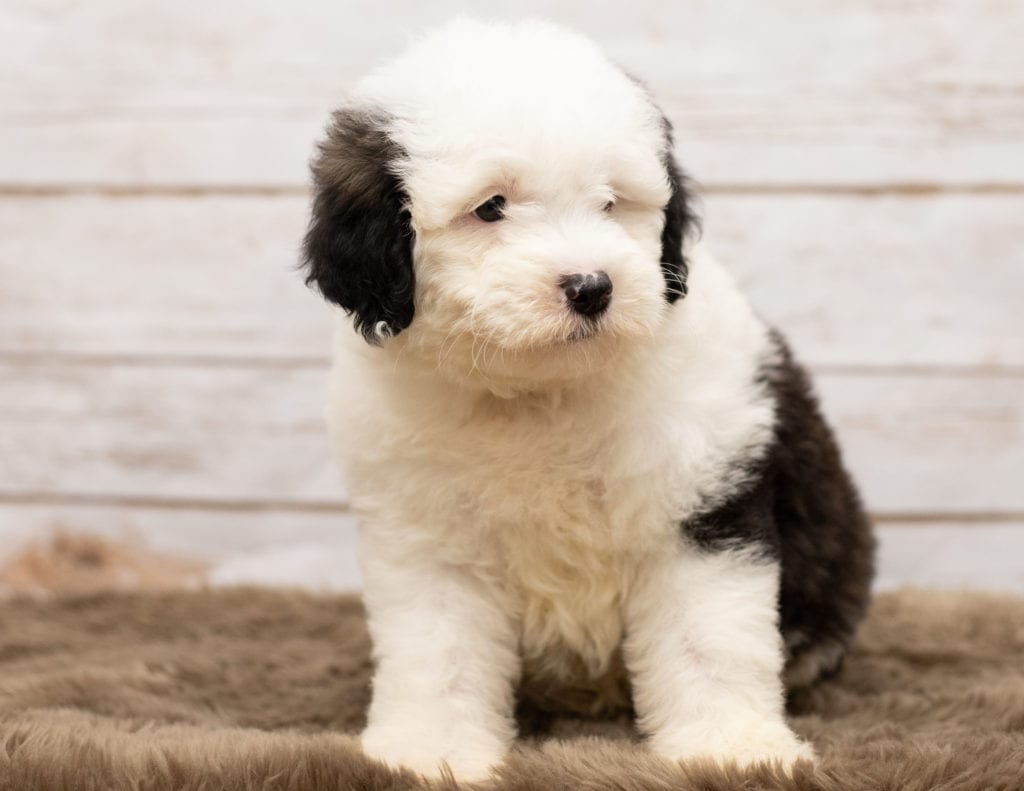 F1 Mini Sheepadoodle Puppy | Sheepadoodle puppies for sale