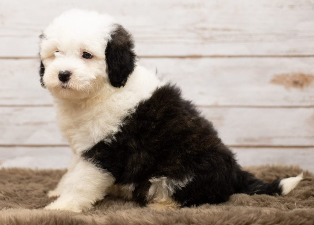Lily is an F1 Sheepadoodle that should have thick, wavy, black and white coat and is currently living in California