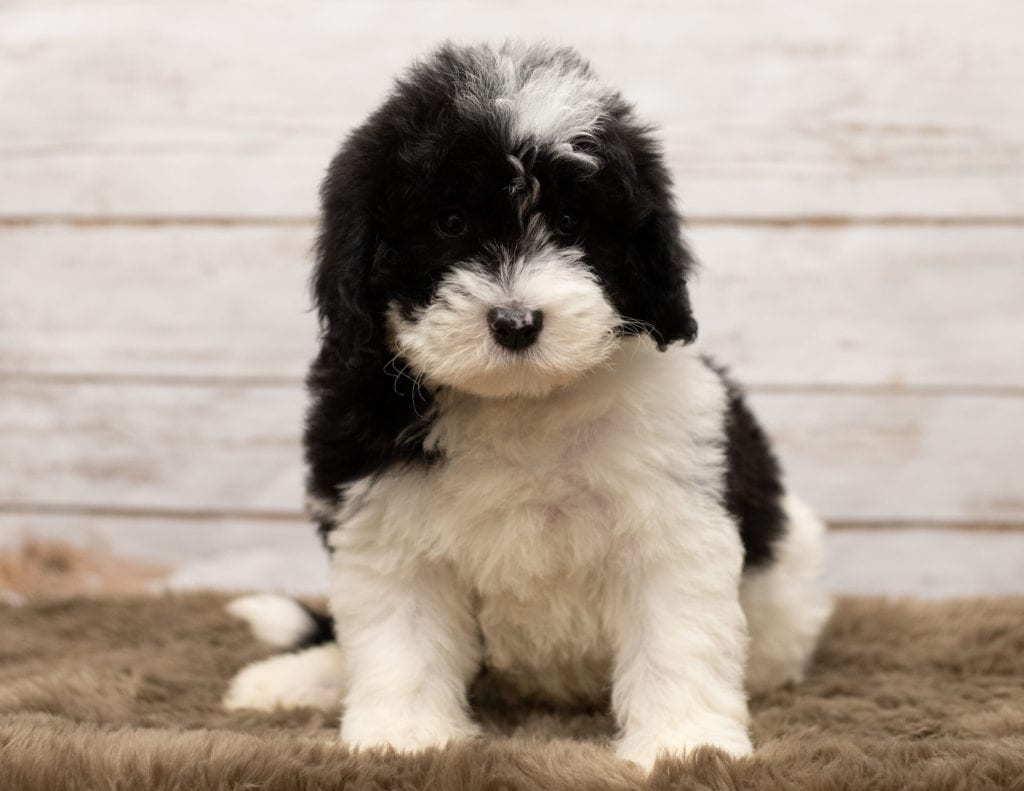 Livi is an F1 Sheepadoodle that should have thick, wavy, black and white coat and is currently living in Texas