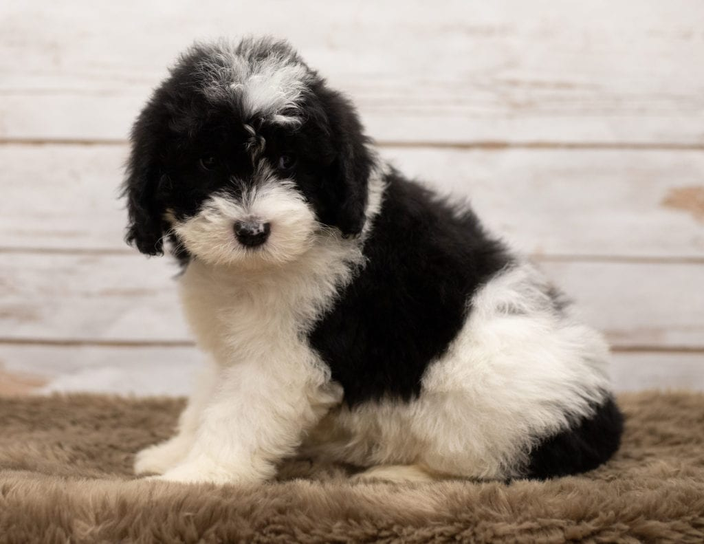 A picture of a Livi, one of our Mini Sheepadoodles puppies that went to their home in Texas