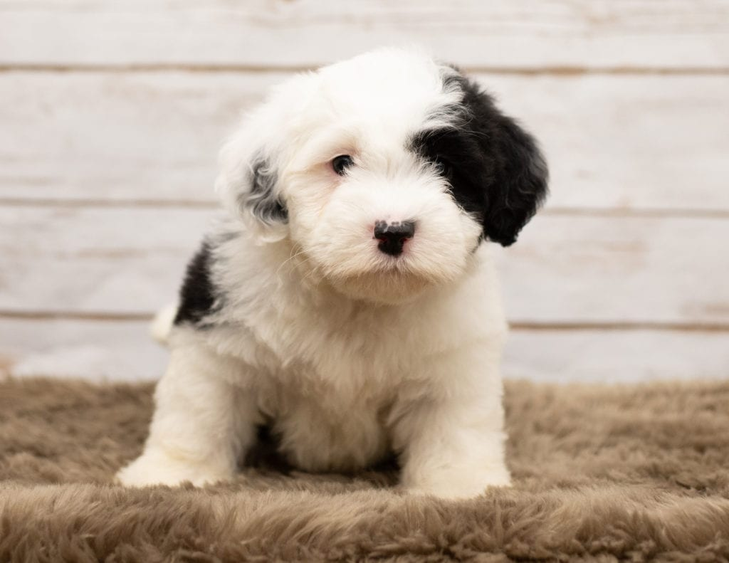 Lucy is an F1 Sheepadoodle that should have thick, wavy, black and white coat and is currently living in Illinois