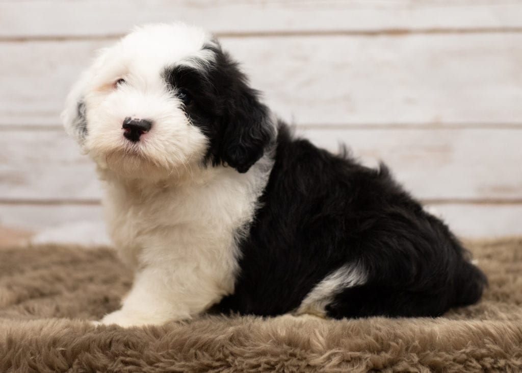A picture of a Lucy, one of our Mini Sheepadoodles puppies that went to their home in Illinois