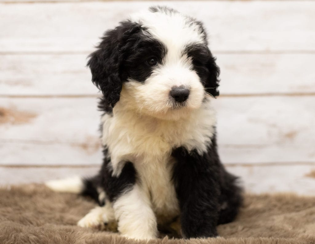 Max came from Tuxxy and Bentley's litter of F1 Sheepadoodles