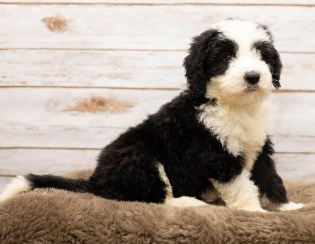 A picture of a Max, one of our Standard Sheepadoodles for sale