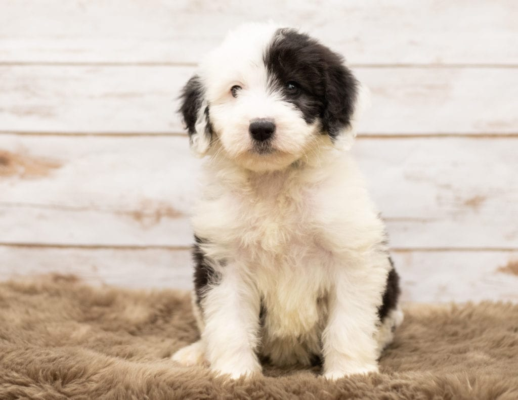 May is an F1 Sheepadoodle.