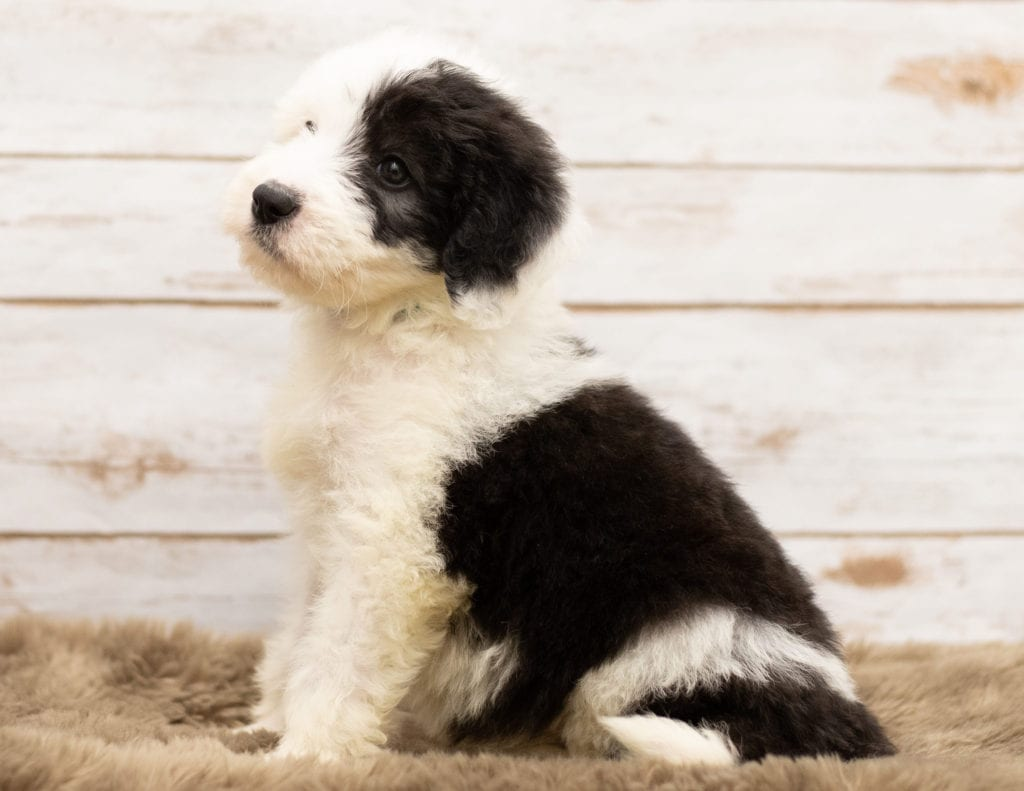 May came from Tuxxy and Bentley's litter of F1 Sheepadoodles