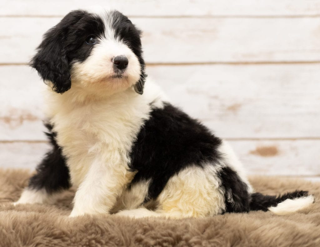 Mel came from Tuxxy and Bentley's litter of F1 Sheepadoodles