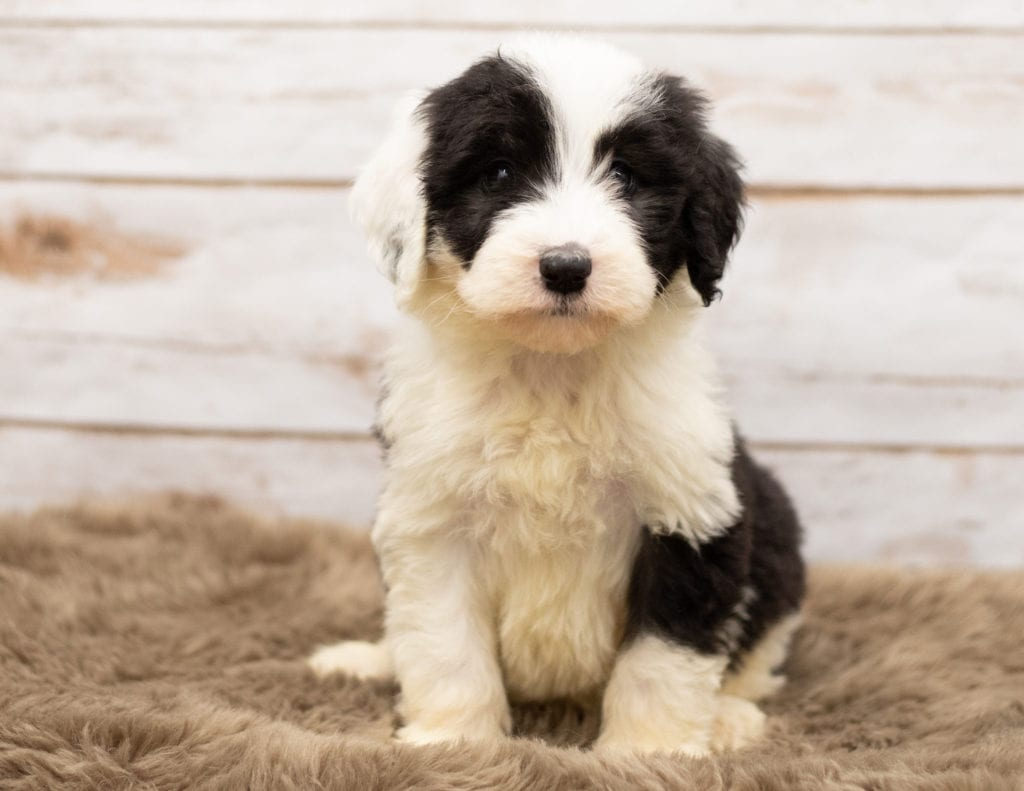Mia came from Tuxxy and Bentley's litter of F1 Sheepadoodles