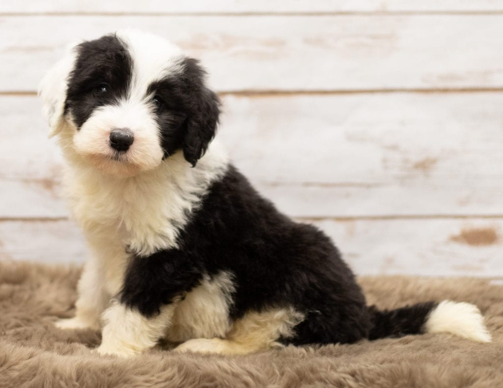 A picture of a Mia, one of our Standard Sheepadoodles for sale
