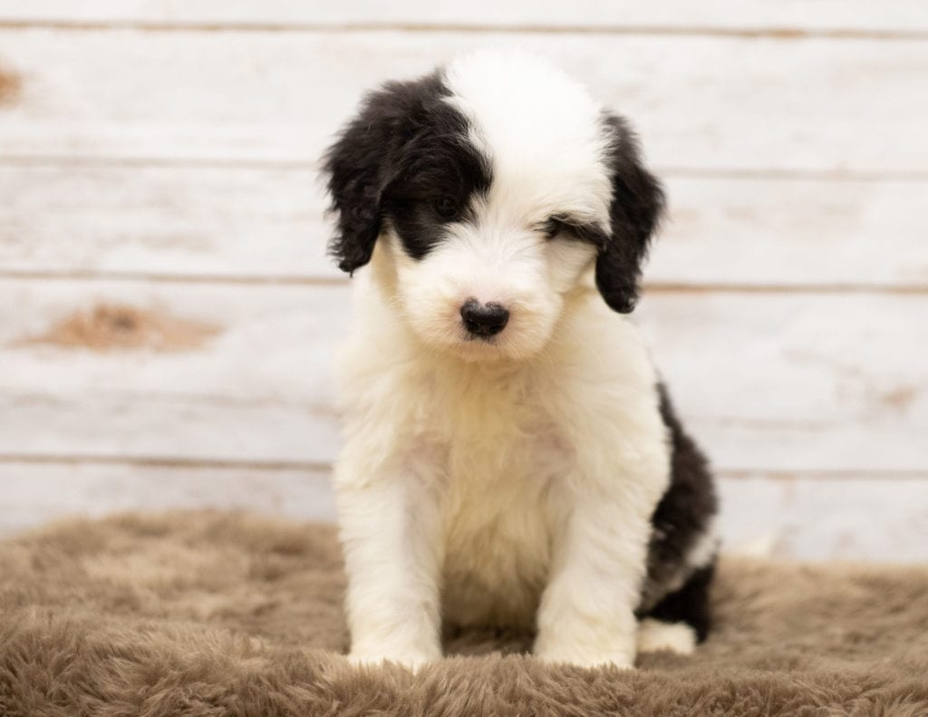Miko is an F1 Sheepadoodle.