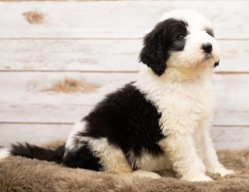 A picture of a Miko, one of our Standard Sheepadoodles for sale