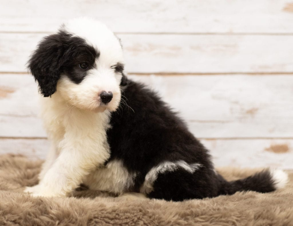 Miko came from Tuxxy and Bentley's litter of F1 Sheepadoodles