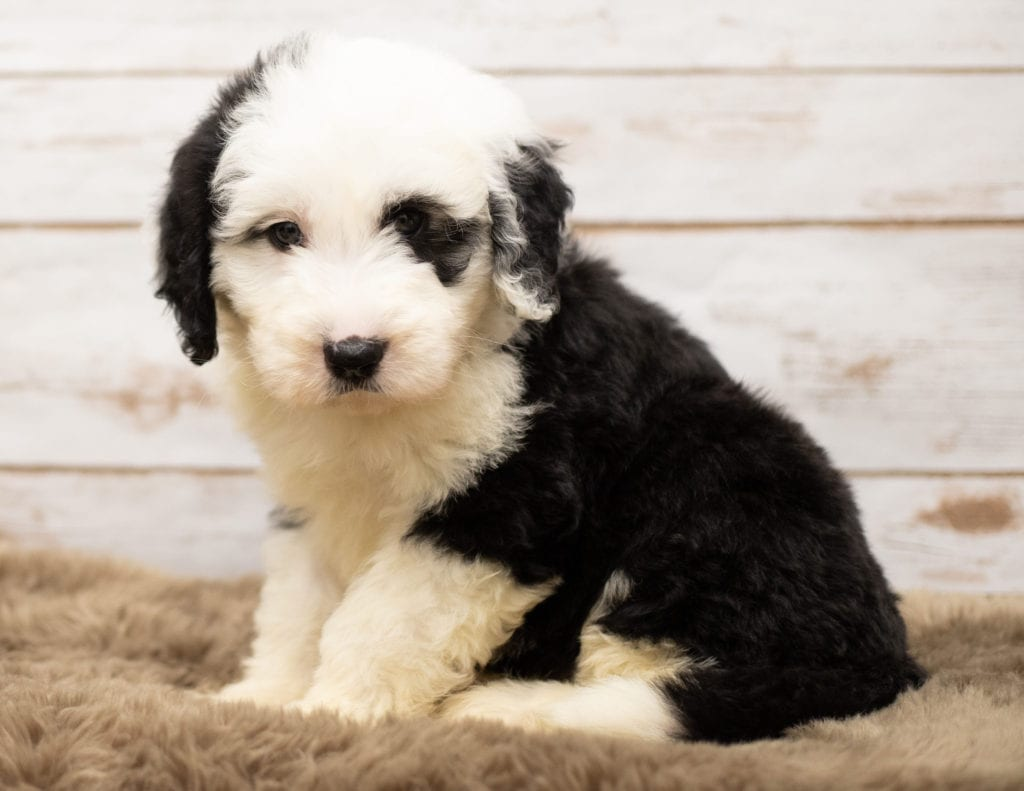 Mo came from Tuxxy and Bentley's litter of F1 Sheepadoodles