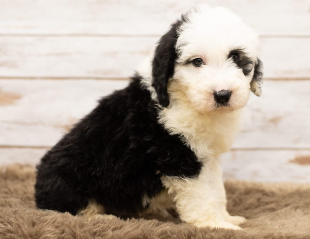A picture of a Mo, one of our Standard Sheepadoodles for sale