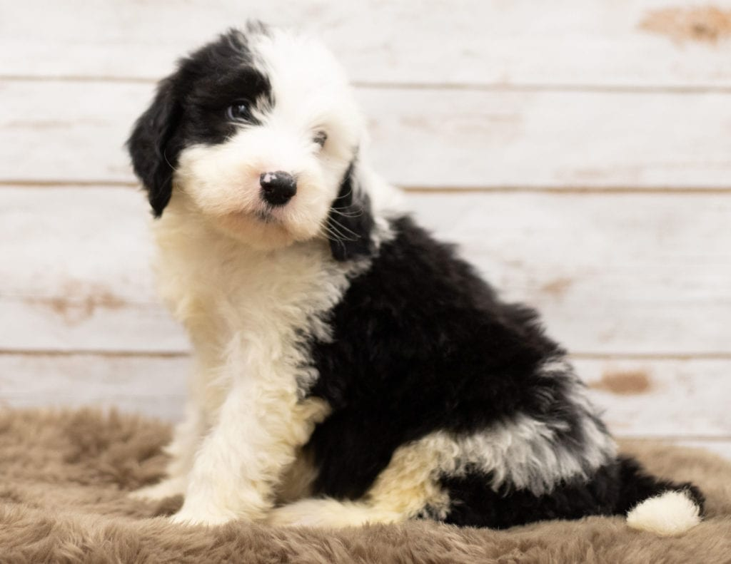 A picture of a Mojo, one of our Standard Sheepadoodles for sale