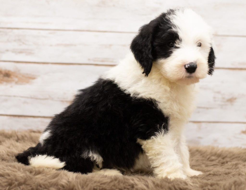 Mojo came from Tuxxy and Bentley's litter of F1 Sheepadoodles
