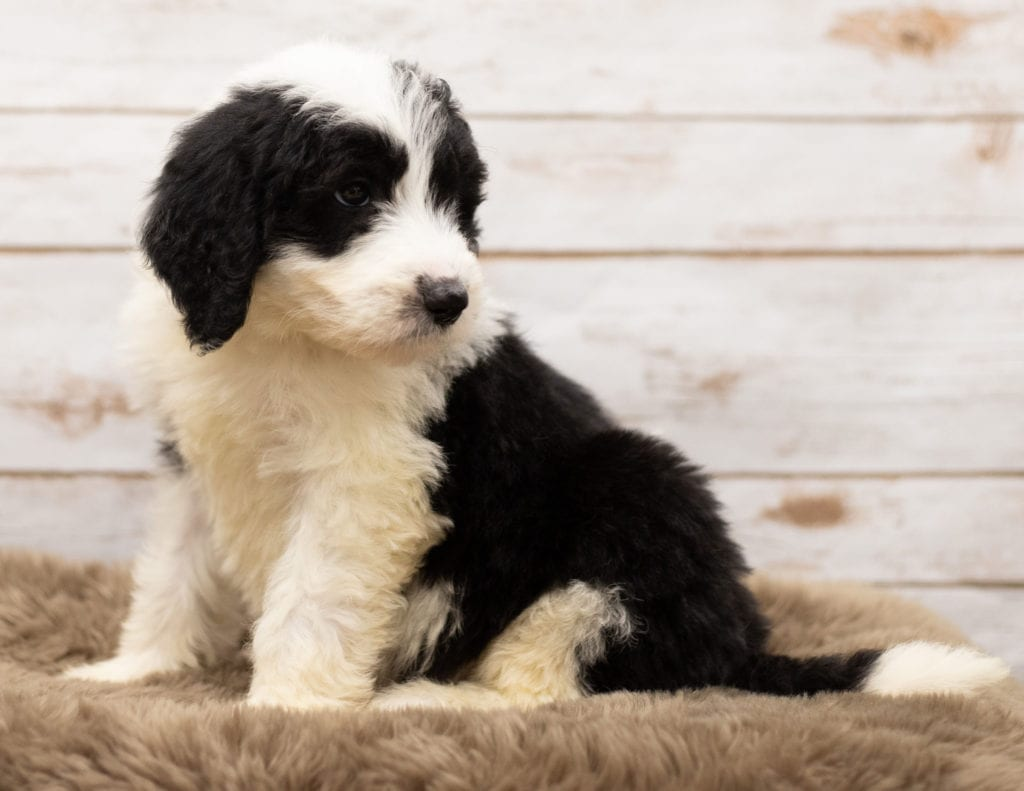 Moz came from Tuxxy and Bentley's litter of F1 Sheepadoodles