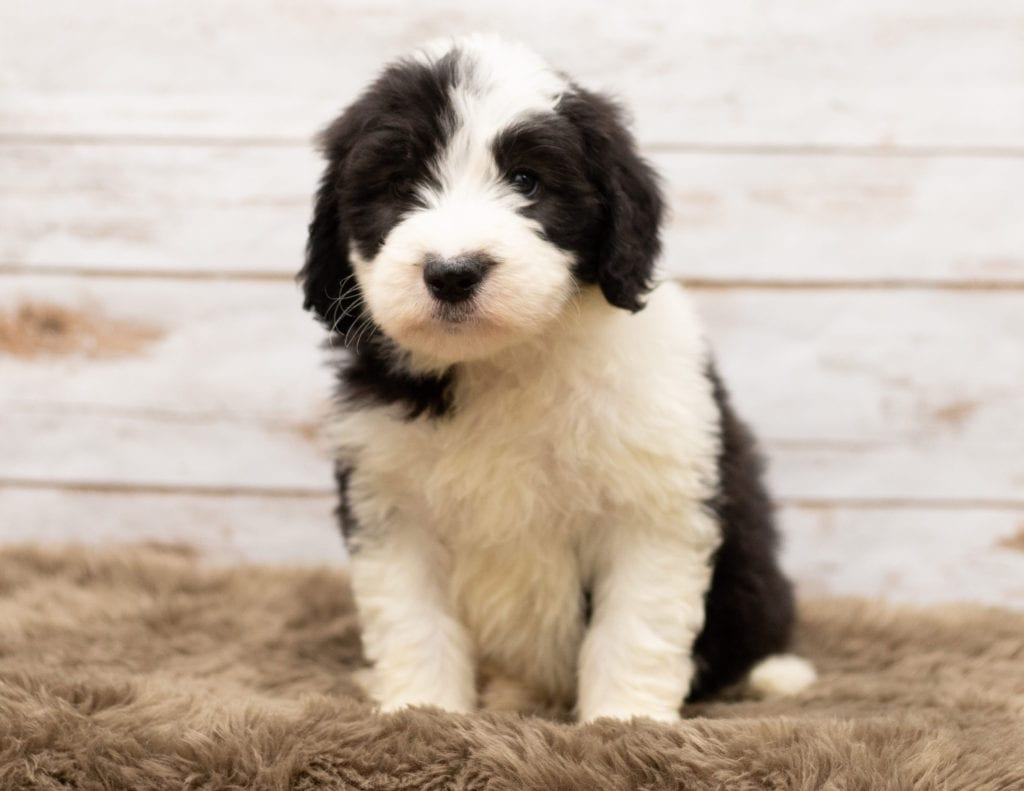Mylo came from Tuxxy and Bentley's litter of F1 Sheepadoodles