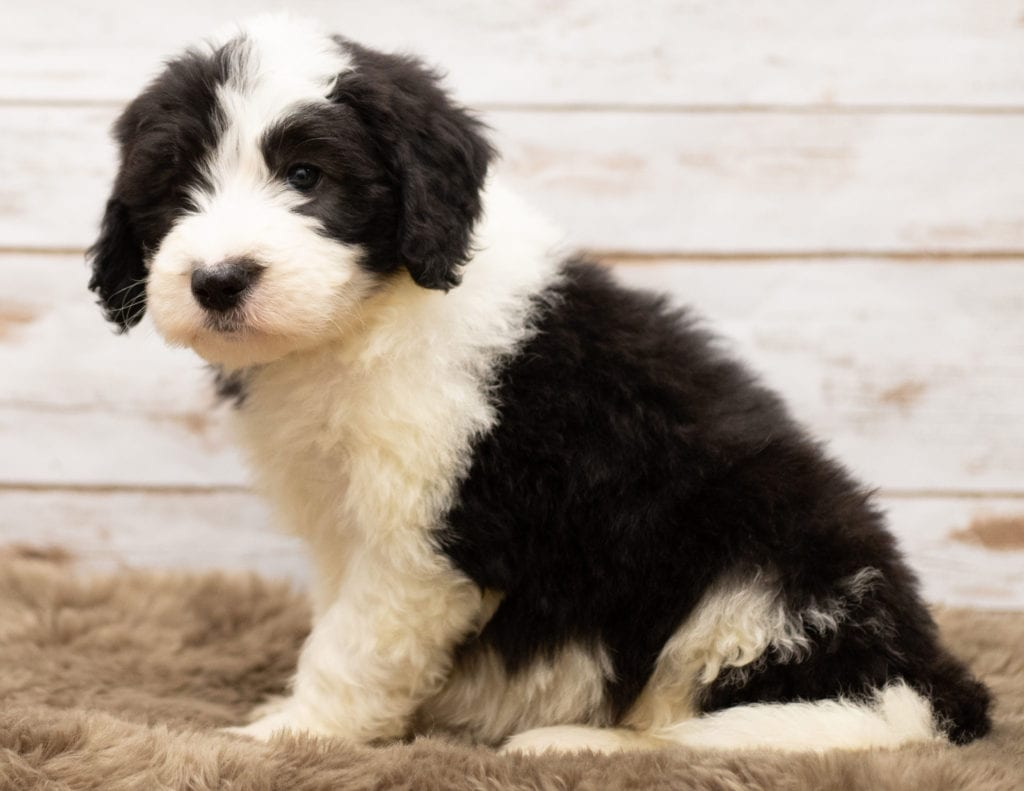A picture of a Mylo, one of our Standard Sheepadoodles for sale