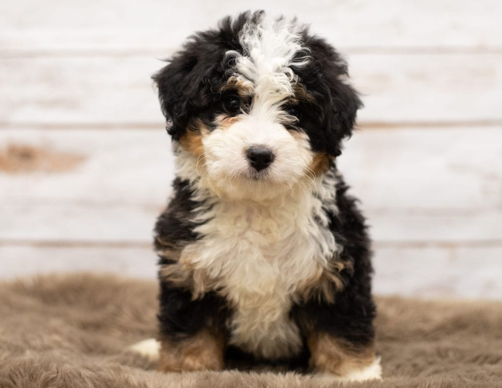 A picture of a Nam, one of our Mini Bernedoodles puppies