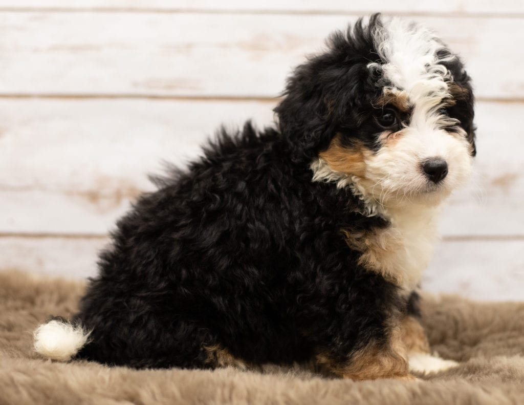 Nam came from Willow and Stanley's litter of F1 Bernedoodles