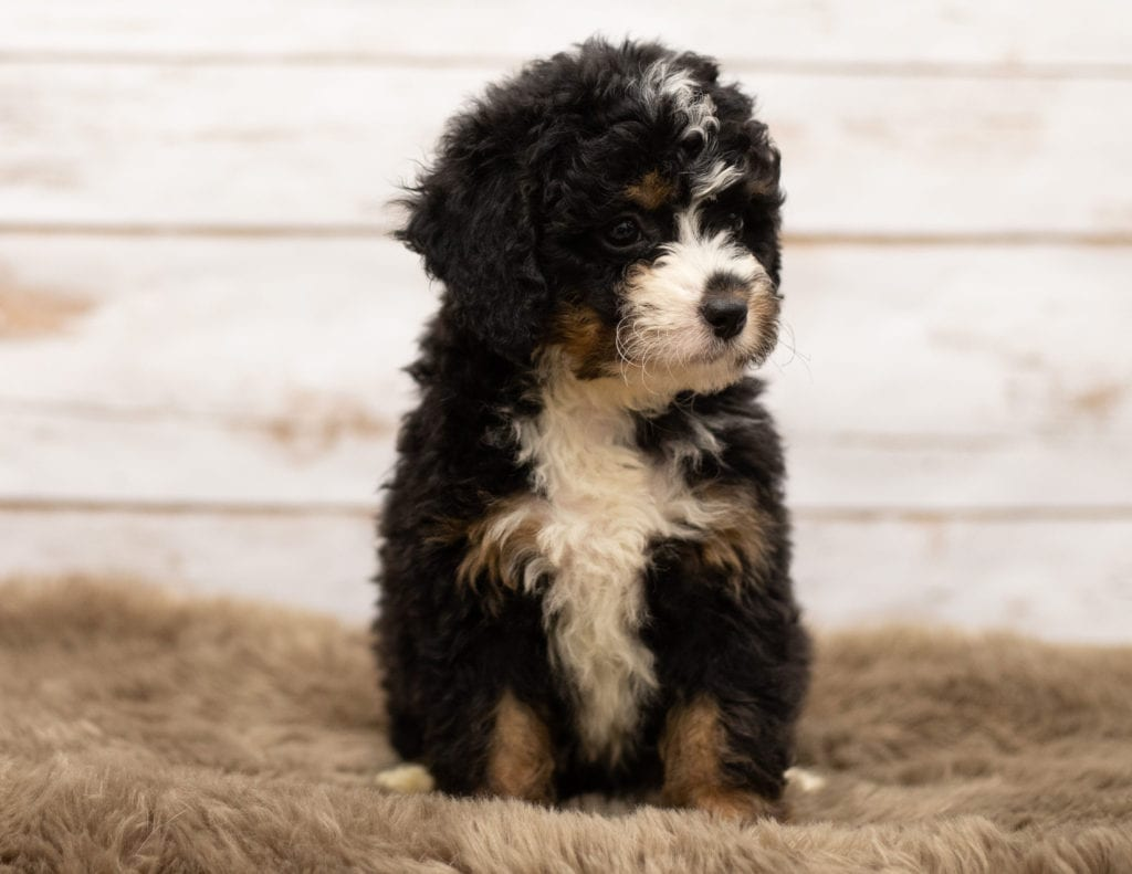 A picture of a Nasa, one of our Mini Bernedoodles for sale