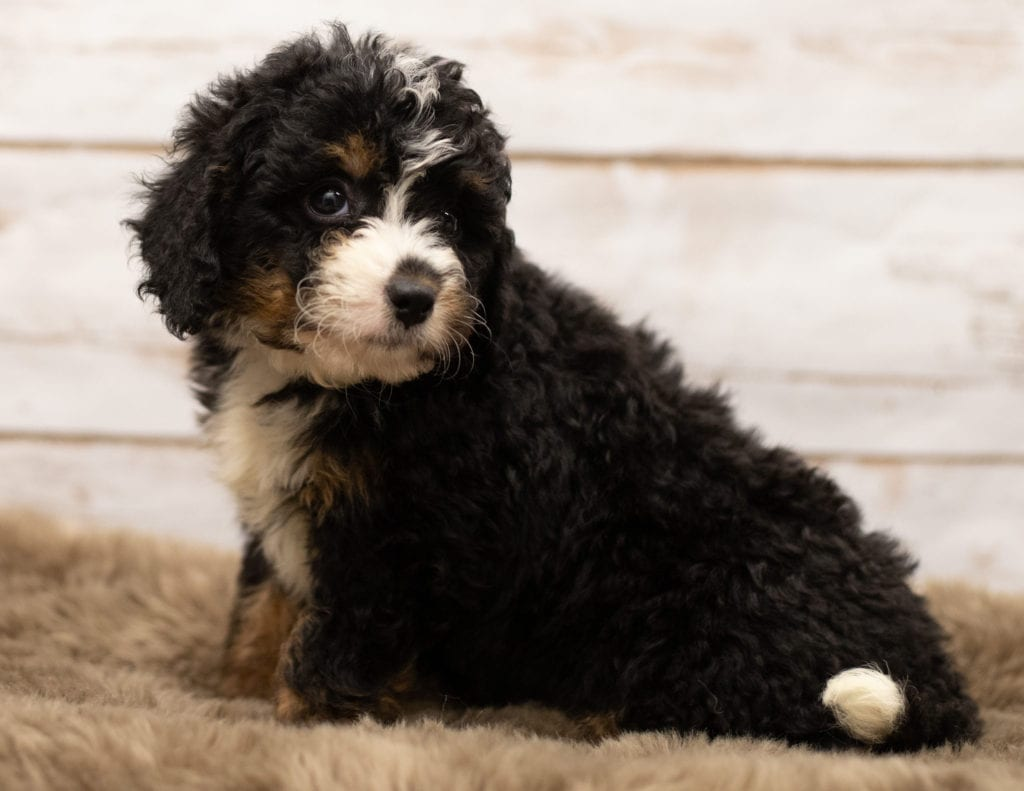 Nasa came from Willow and Stanley's litter of F1 Bernedoodles