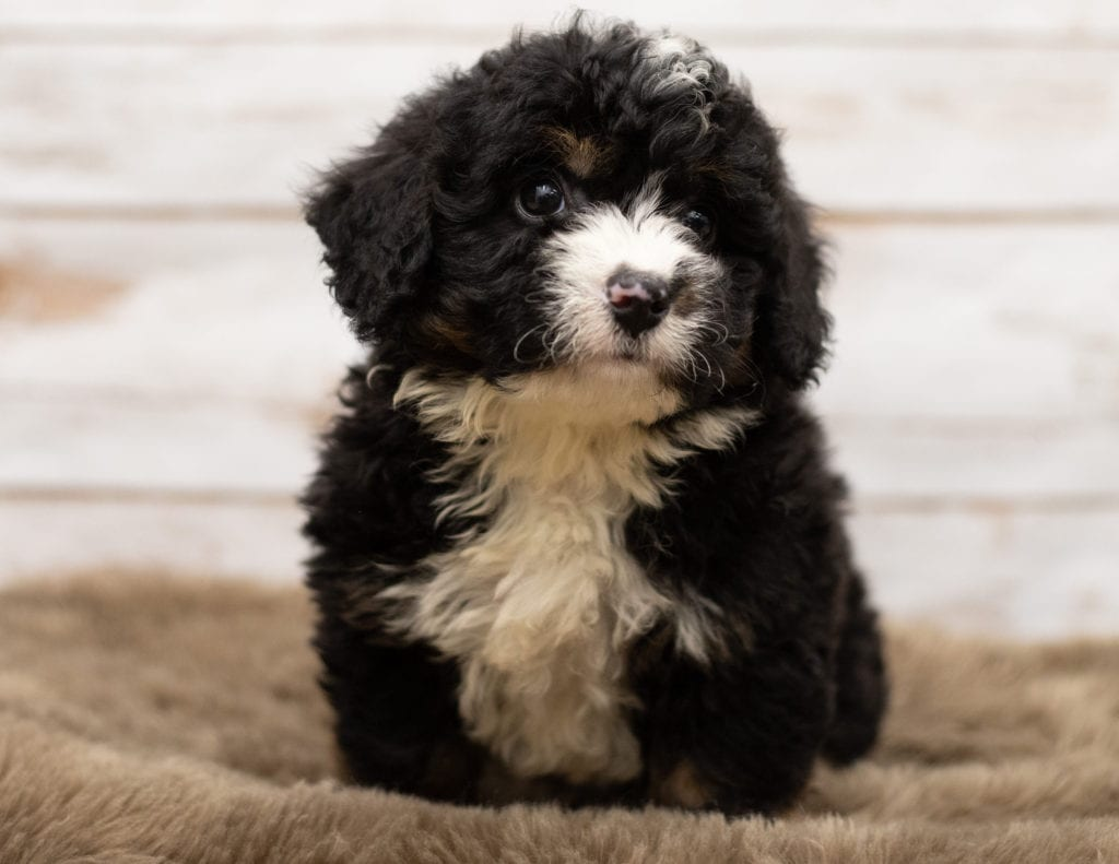A picture of a Neno, one of our Mini Bernedoodles puppies that went to their home in Connecticut