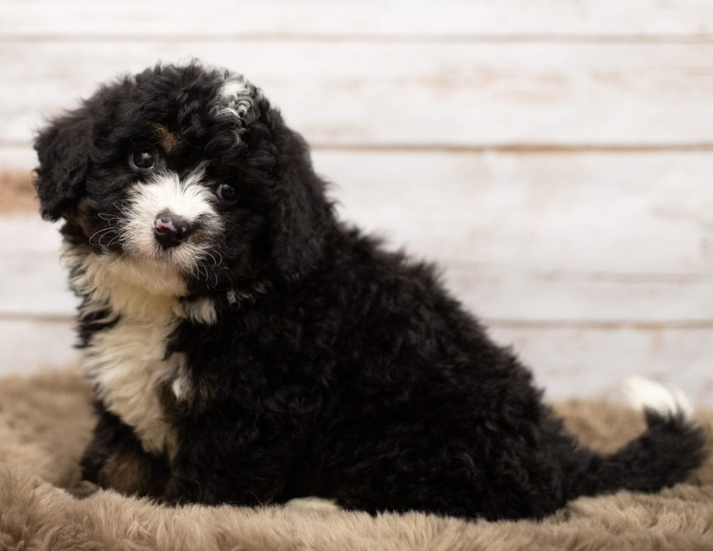 Neno is an F1 Bernedoodle that should have  and is currently living in Connecticut