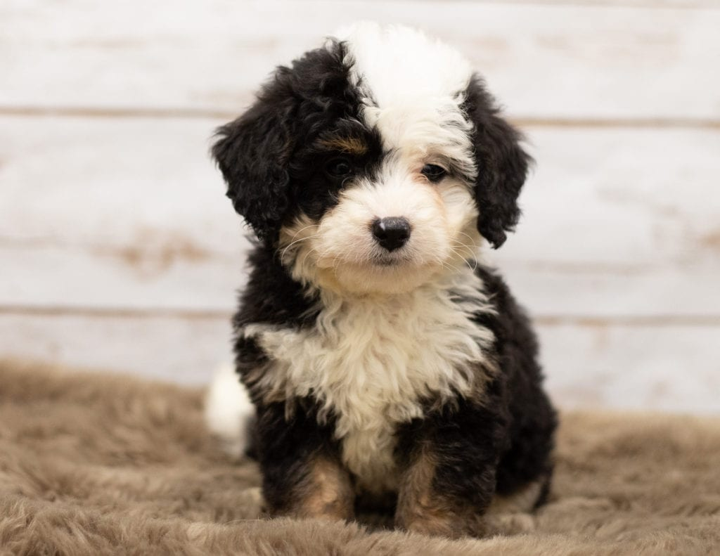 A picture of a Nia, one of our Mini Bernedoodles for sale