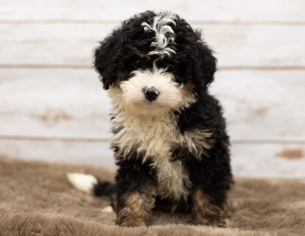 A picture of a Nic, one of our Mini Bernedoodles for sale
