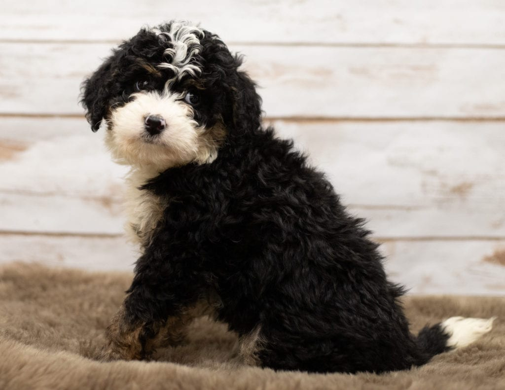 Nic is an F1 Bernedoodle.
