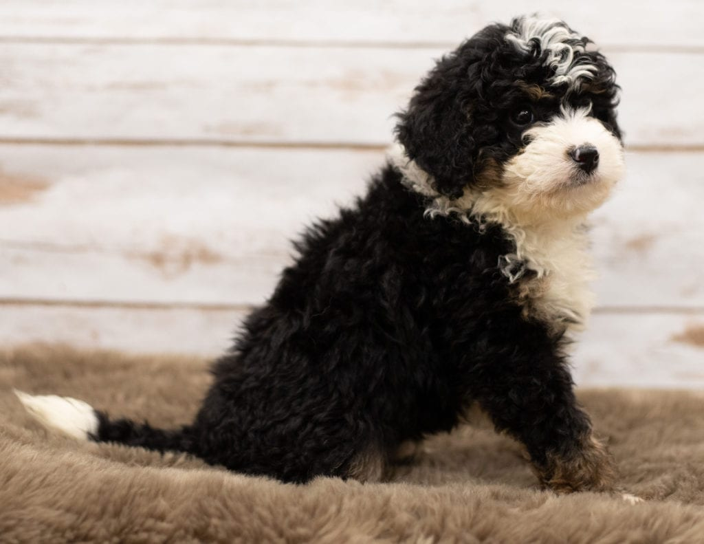 Nic came from Willow and Stanley's litter of F1 Bernedoodles
