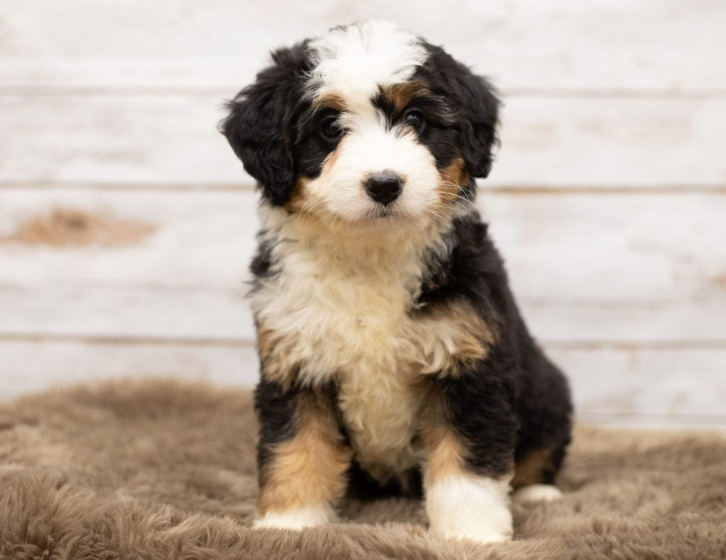 A picture of a Nica, one of our Mini Bernedoodles for sale