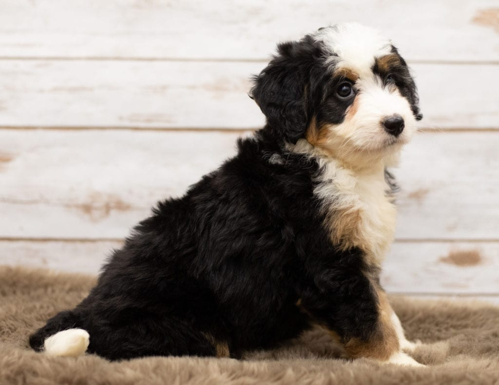 Nica came from Willow and Stanley's litter of F1 Bernedoodles