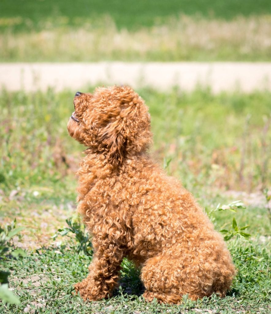 Reggie is an  Poodle and a father here at Poodles 2 Doodles, a top breeder of Bernedoodle puppies