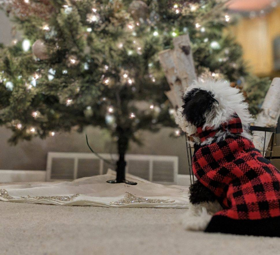 Micro Sheepadoodle celebrating by a Christmas tree. This image provides excellent perspective on just how small Micro Sheepadoodles are!