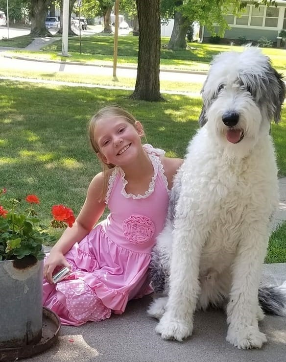 A picture of a Standard Sheepadoodle sitting next to a girl, showing perspective on their size