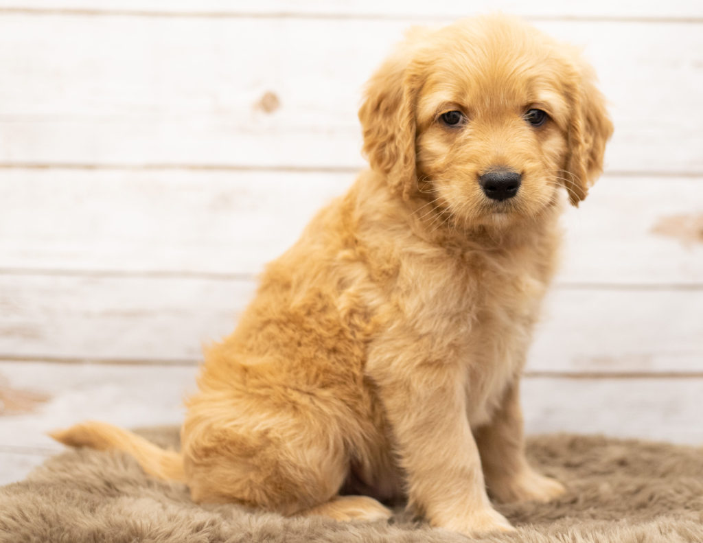Odie is an Multigen Goldendoodle that should have  and is currently living in South Dakota
