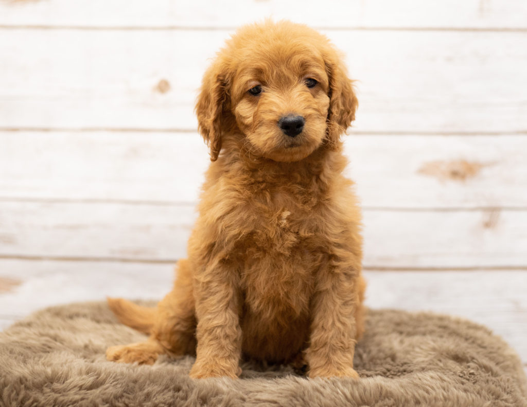 A picture of a Oggy, one of our Mini Goldendoodles puppies that went to their home in South Dakota