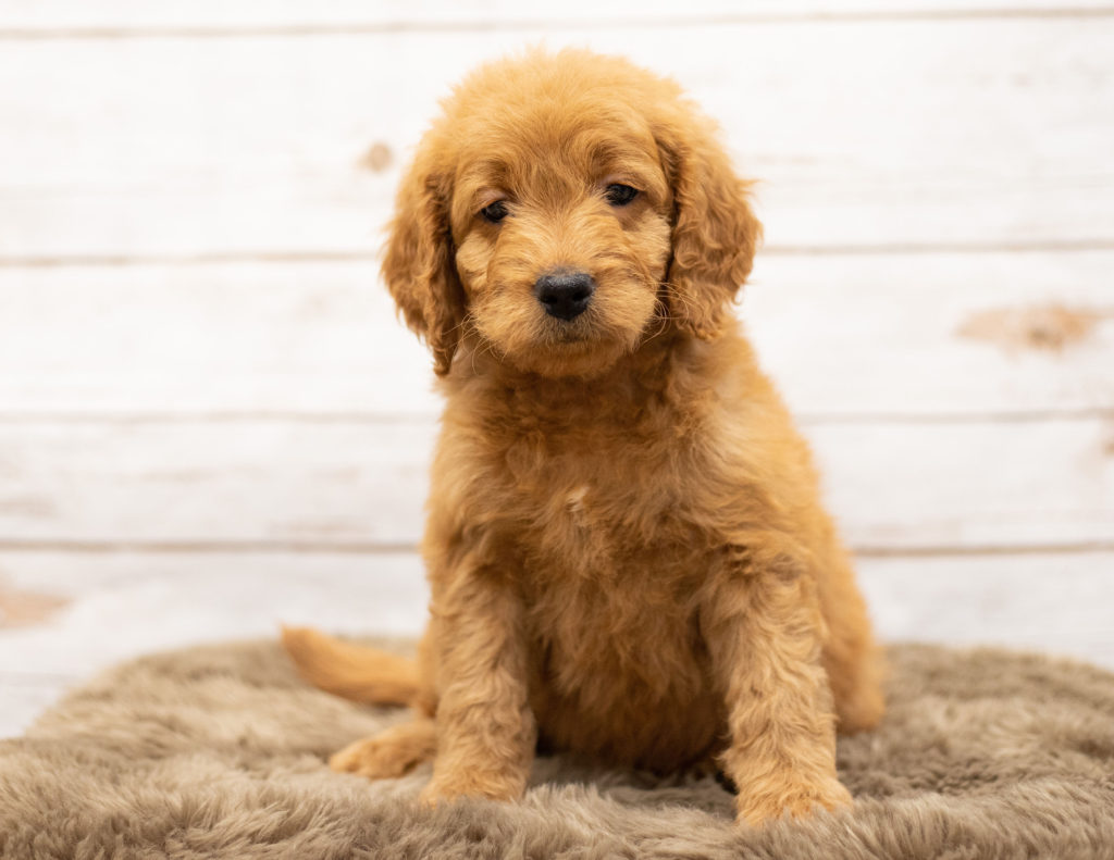 Oggy is an Multigen Goldendoodle that should have  and is currently living in South Dakota