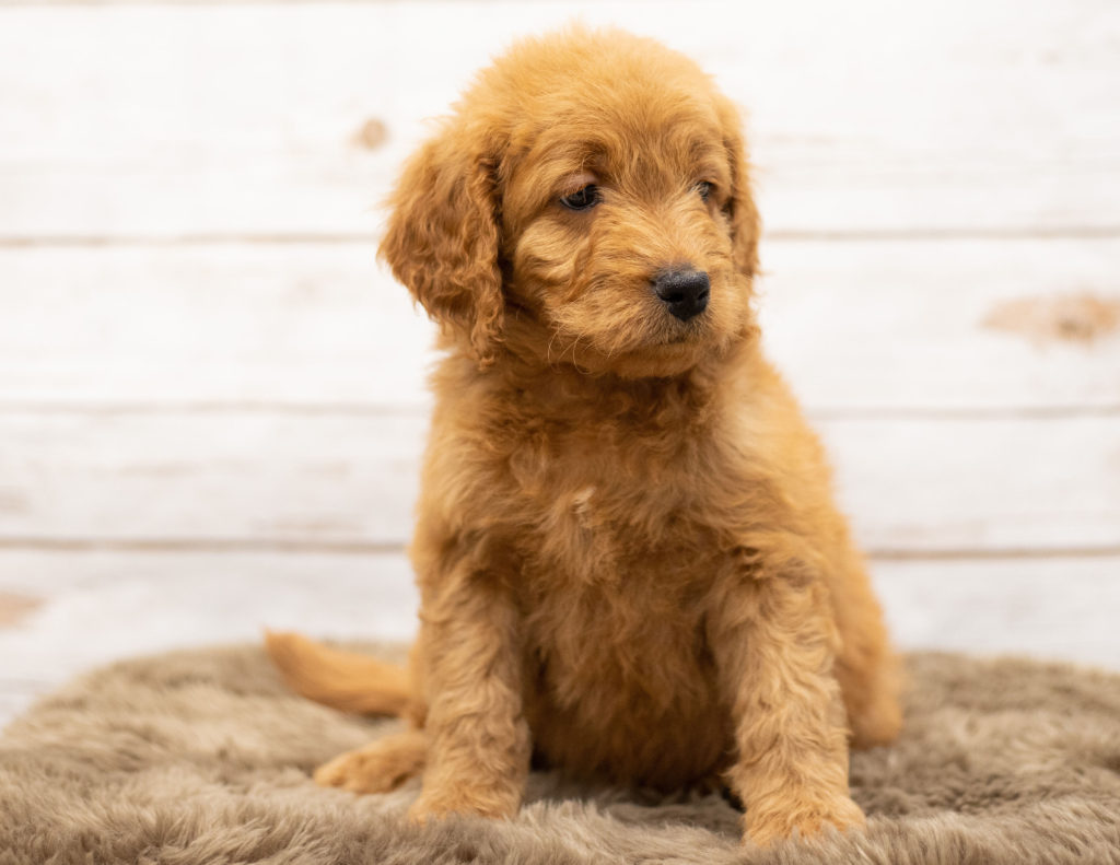 Oggy came from Sassy and Houston's litter of Multigen Goldendoodles